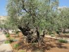 gethsemane-olivetree