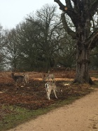 deer-in-richmond-park